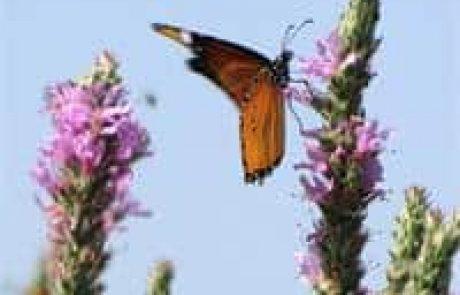 """פארק הטבע והצפרות אגמון החולה קק""""ל מציג: סודות נדידת הפרפרים"""