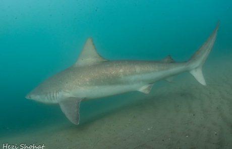 לראשונה אחרי 6 שנים: כרישה מסוג סנפירתנית זוהתה מול חדרה